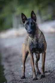 belgian sheepdog dogtime 434 best chien de berger belge malinois images on pinterest