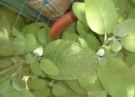 basilico in vaso malattie malattie dell orto l oidio o mal bianco