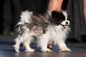 australian shepherd ugly stage world u0027s ugliest dog contest 2013 top 10 pictures metro news