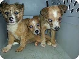 australian shepherd puppies rescue aussie pups adopted puppy sylva nc australian shepherd