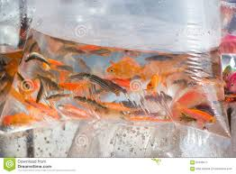 small ornamental fish in a plastic bag stock image image 67848471