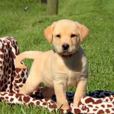 yellow lab puppies sale pa