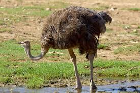 ostrich feather l shade ostrich san diego zoo animals plants