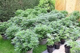 cannabis im garten polizei wird in everswinkel f禺ndig cannabis plantage