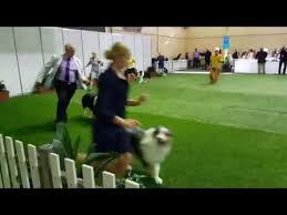 australian shepherd club qld ekka 2017 aussie shepherd dog challenge youtube