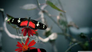 butterfly images for backgrounds desktop free butterfly category
