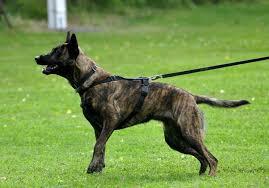 belgian shepherd short hair dutch shepherd dog info temperament puppies training pictures