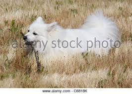 american eskimo dog vector miniature american eskimo dog at 5 months stock photo royalty