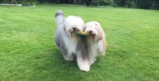 bearded collie mini are you loyal to one type of dog breed