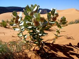 desert native plants welsh u0027s milkweed is native to parts of utah and arizona it faces