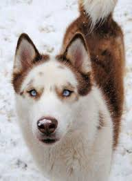 belgian shepherd wolf mix best 25 sled dogs ideas on pinterest polar bear dogs polar
