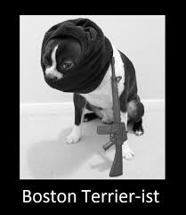 Boston Terrier Meme - boston terrier ist imgur