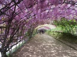 a day at the wisteria tunnel u2013 素敵なライフ