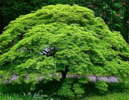 acer japanese maple tree emerald lace