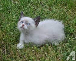 beautiful kittens beautiful siamese manx kittens some with tails for sale in sweet