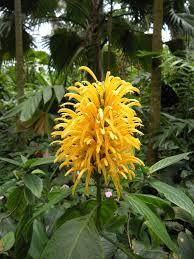native plants in brazil justicia umbrosa brazilian plume yellow jacobinia syn j aurea