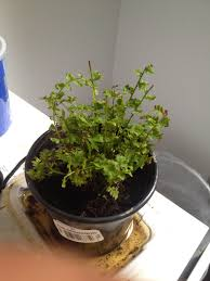 getting rid of fungus gnats with drying out soil cinnamon sticky