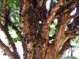 Tropical Fruit Tree Nursery - jaboticaba