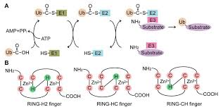 membranes free full text the role of the transmembrane ring