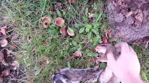 How To Hunt Squirrels In Your Backyard by Indiana Squirrel Hunting 2016 2017 Air Rifle 177 Cal Hunting