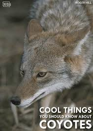Coyote In My Backyard 6 Cool Things You Should Know About Coyotes Dnr News Releases