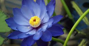 Lotus Flower Parts - lotus meaning lotus flower symbolism the beautiful lotus flower
