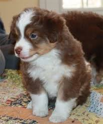 australian shepherd puppies 500 australian shepherds can be water dogs too australian shepherd