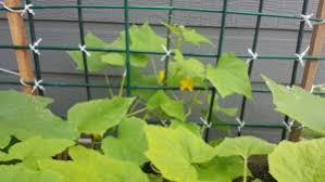 How To Build A Trellis How To Build A One Plant Cucumber Trellis