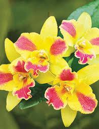 cattleya orchids cattleya orchids tesselaar