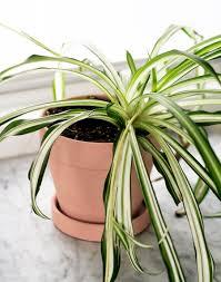 house plants spider plant