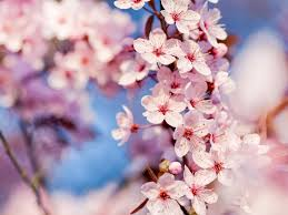 cherry blossom flowers macro wallpaper 1600x1200 22675