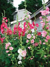hollyhock flowers hollyhock farmyard bluestone perennials