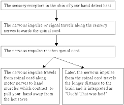 How Does A Reflex Arc Work In A Nervous System Nervous System And Senses Qld Science Teachers