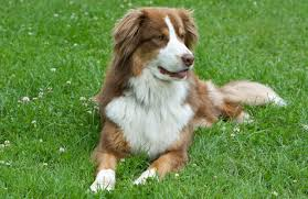 australian shepherd dog australian shepherd dog personality history and pictures