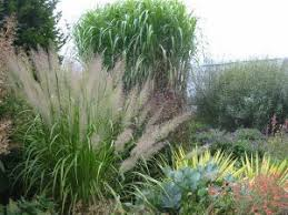 20 best ornamental grasses images on ornamental