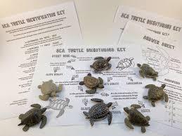 sea turtle dichotomous key activity what if scientific leave