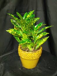 Croton Tropical Plant One 4
