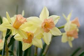 Ideas For Daffodil Varieties Design Fall Bulbs 2017 The 9 Best Daffodils To Order Now Gardenista