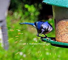 blue jay at backyard birdfeeder