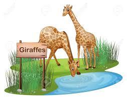 thirsty giraffe stock photos royalty free thirsty giraffe images