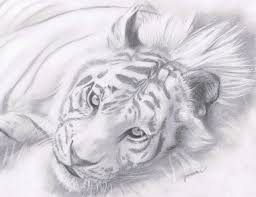 white tiger teen charcoal about animals nature and tiger white
