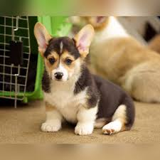 corgi home corgi precious pembroke welsh corgi puppies for sale