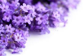 lavender flowers lavender flowers stock image image of white fragrant 32051099