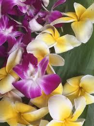 plumeria flowers 100 fragrant plumeria orchid blooms