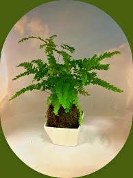 kokedama moss ball lemon button fern indoor garden a perfect