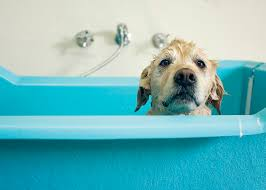 Dogs In The Bathtub Why Is My Dog Stinky After A Bath