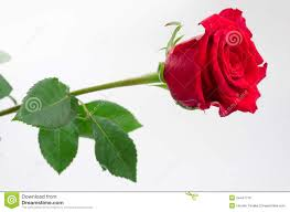 Rose Flower Images One Rose Flower Royalty Free Stock Image Image 24441716