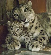 misha the snow leopard u0026 her mom at the detroit zoo imgur
