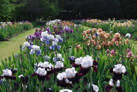 Irises How To Plant Grow by Tall Bearded Irises Pleasants Valley Iris Farms Online Catalog