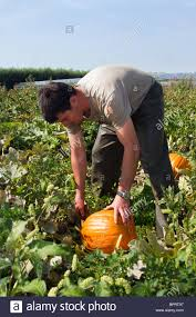 migrant worker picking pumpkins farms and farming market gardening